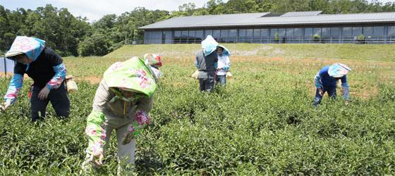 親身體驗茶農日常生活